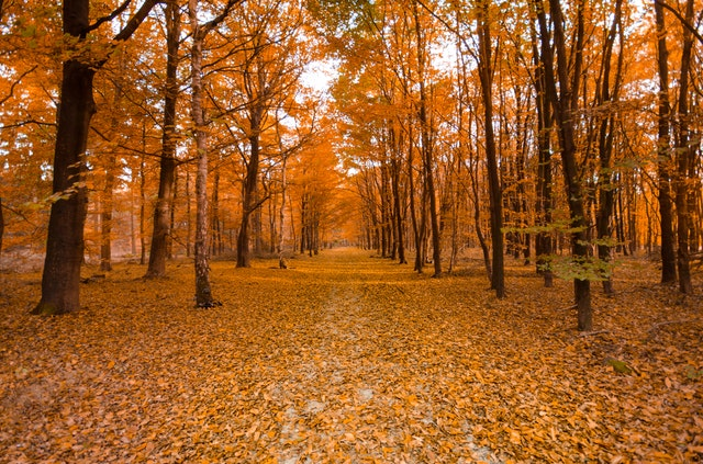 Walking Path Surrounded By Trees With Orange And Yellow Leaves, With Orange And Yellow Leaves On The Ground.